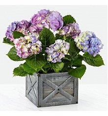Plants: Potted Blue Hydrangea